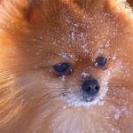 Pomeranian Cheese