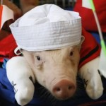 Popeye the sailor pig – Genetically modified spinach pork